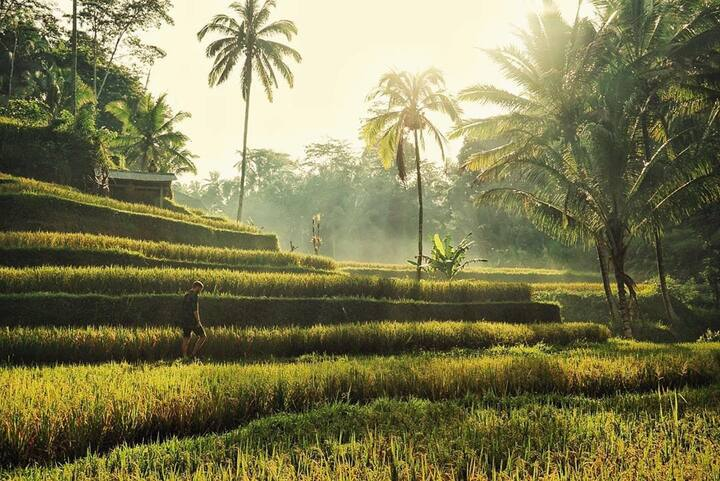 Tegalalang rice terrace in the morning
