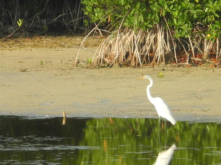 birding on the mangrove