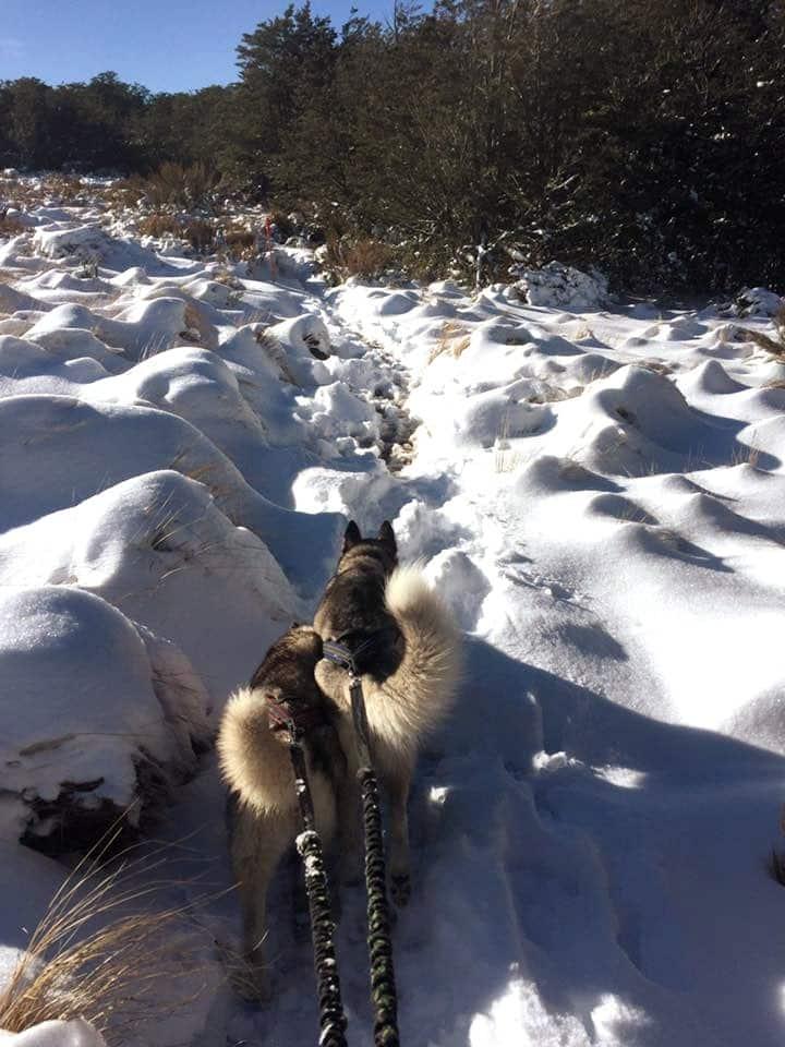 Huskies  Mushing in the Snow