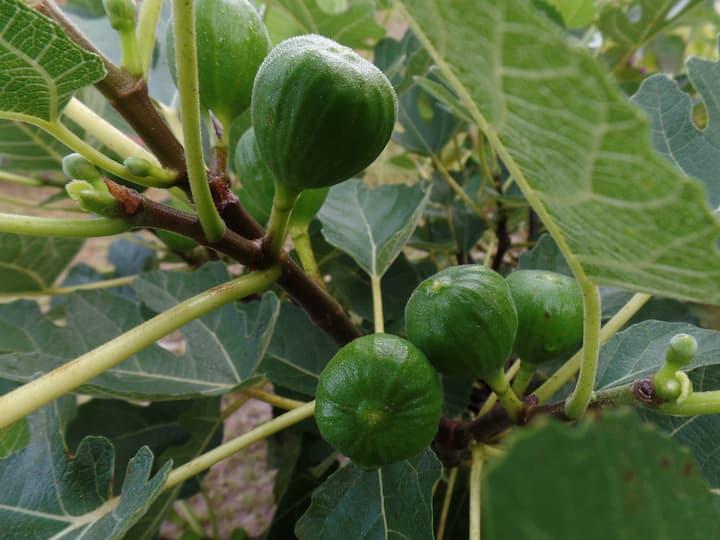 Figs in season