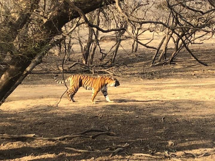 Tiger walking towards the lake