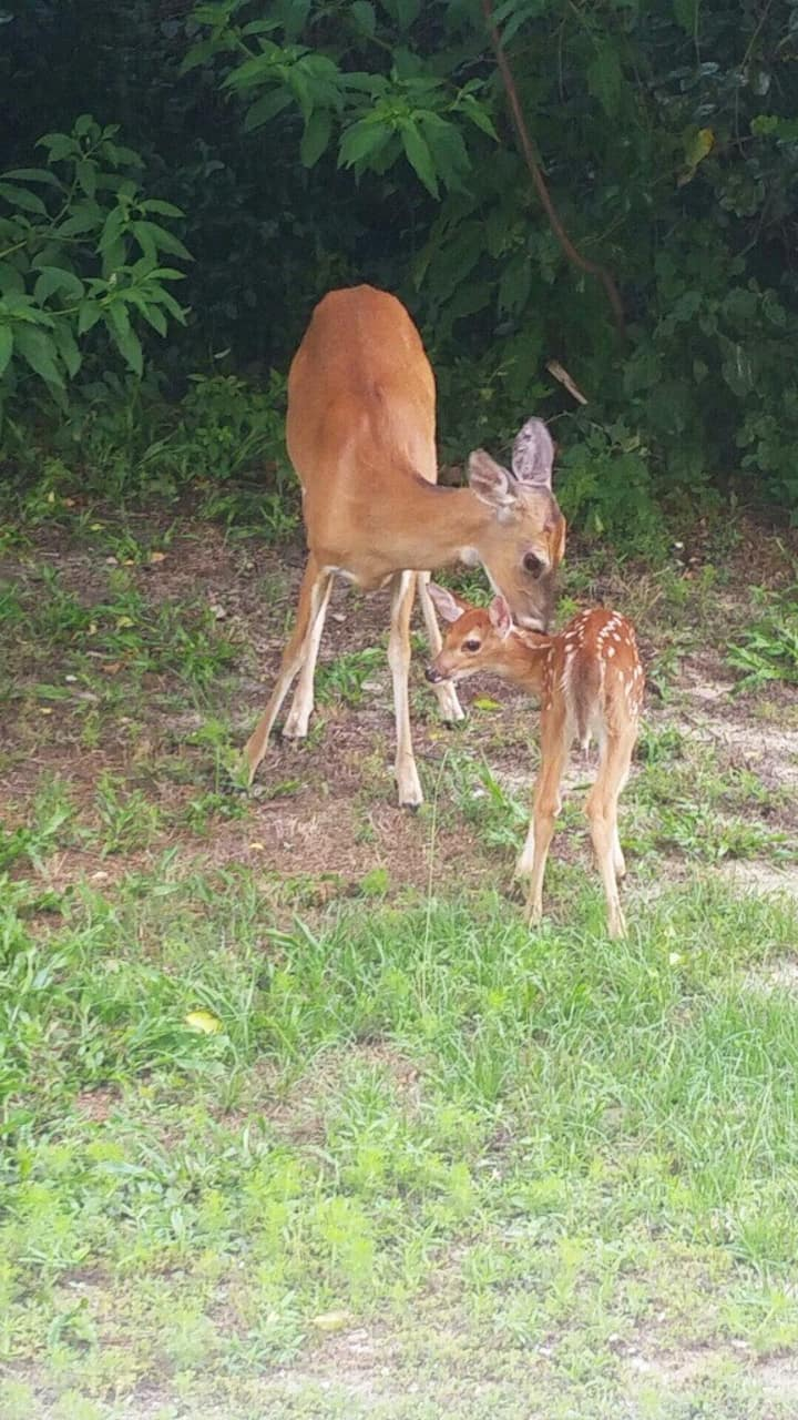 Mama Deer & Fawn