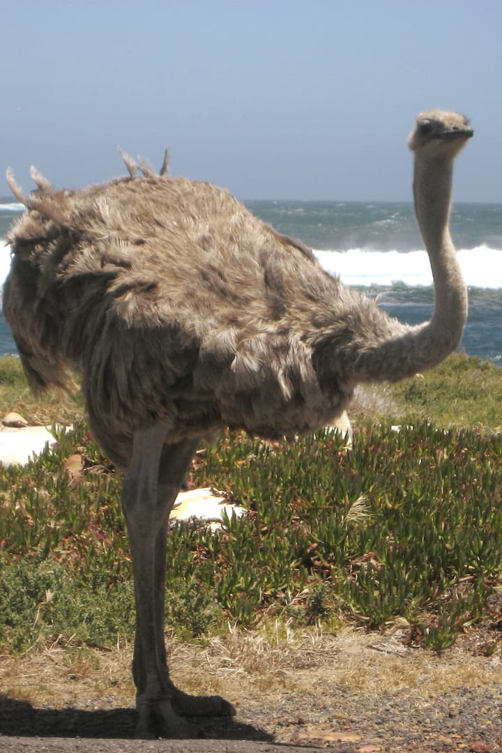Ostrich at Cape Point