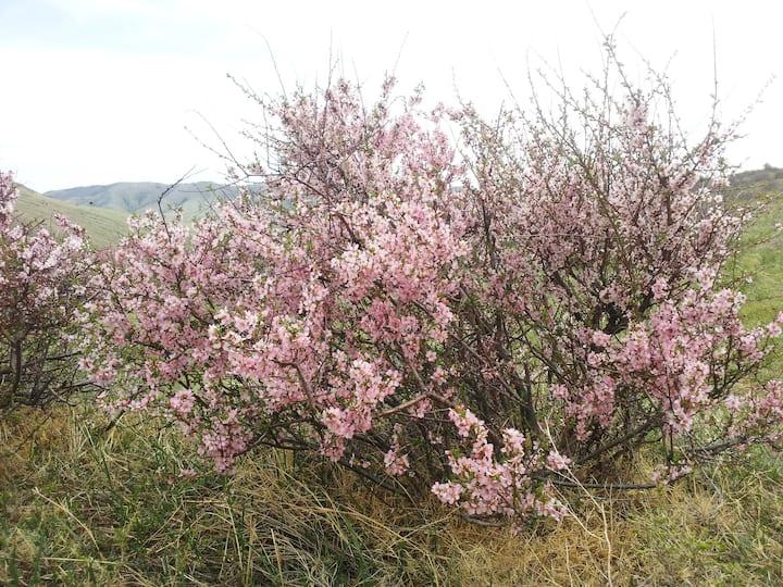 spring time Mongolian sakura