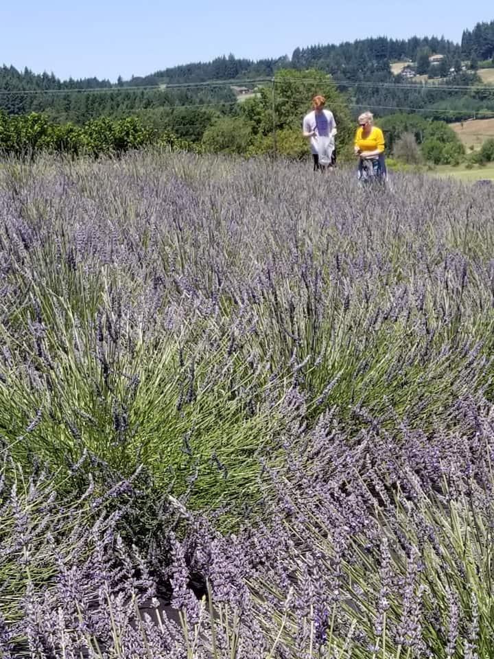 U-Pick Lavender at a family farm.