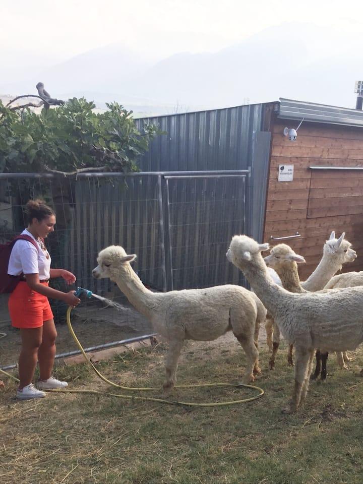 Summertime: the alpacas love the shower!
