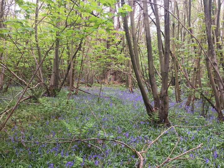 In the spring, bluebells are everywhere