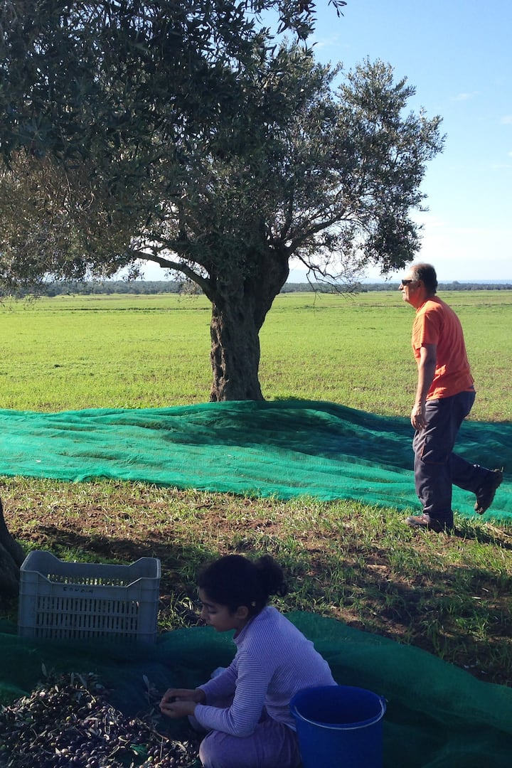 The olive-picking process