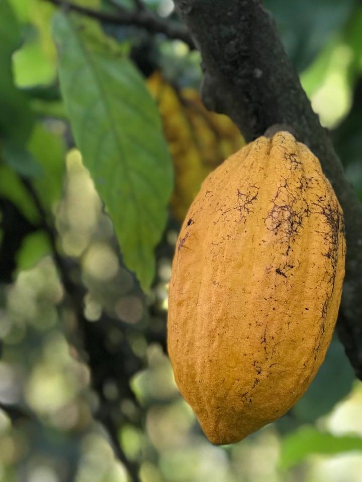 cacao fruit pod on tree