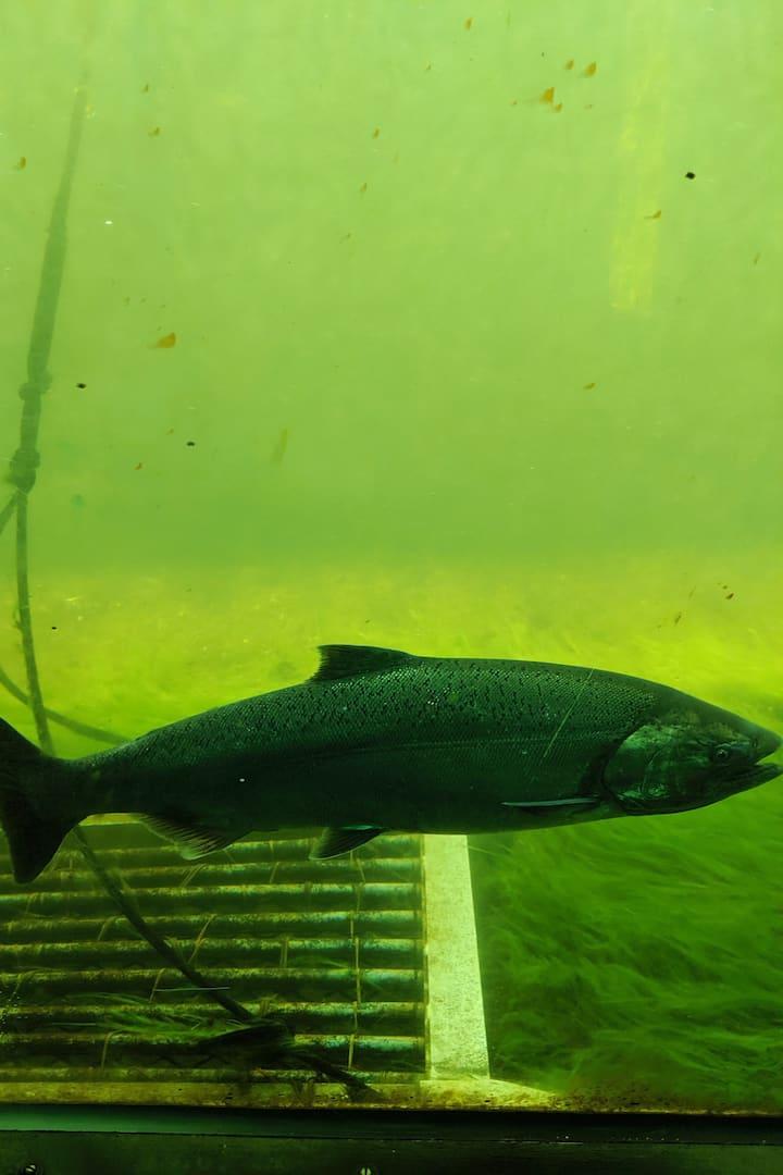 Ballard Locks fish lader!