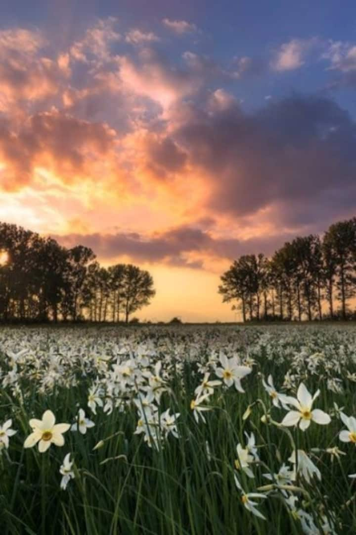Meadow with daffodils