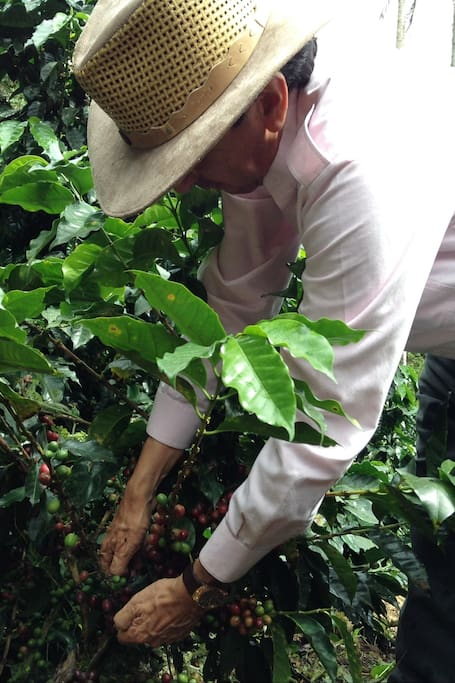 Picking up red coffee beans!