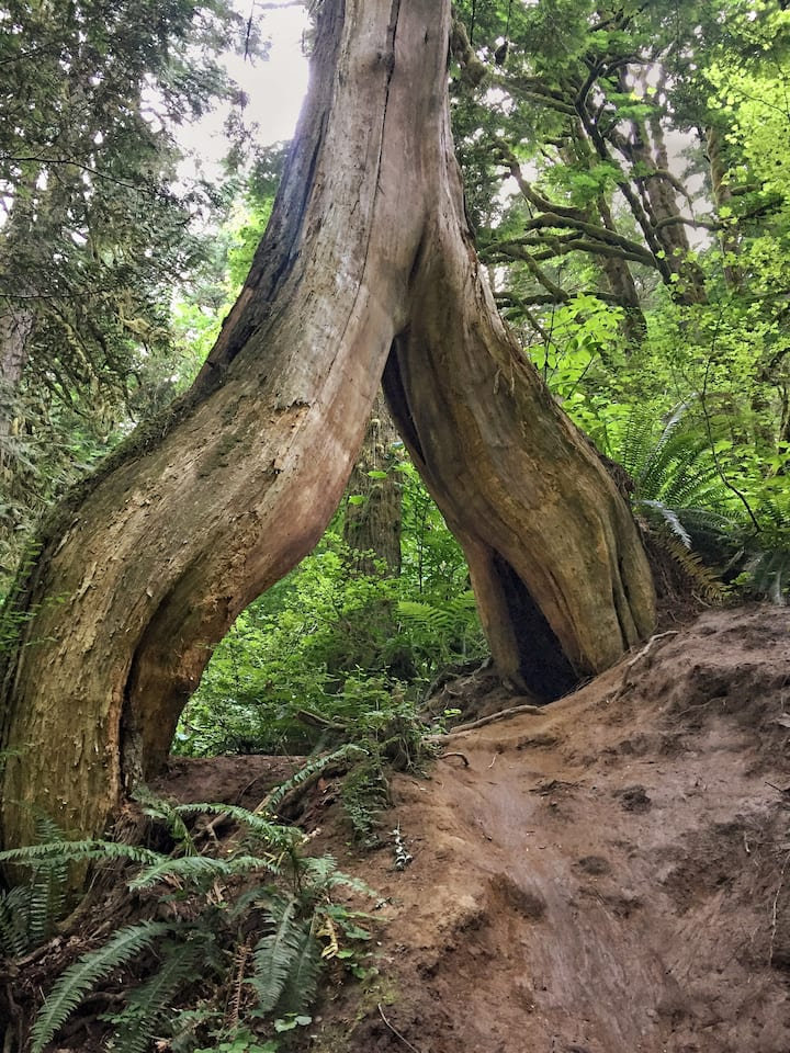 "We call this redcedar ""the portal"""