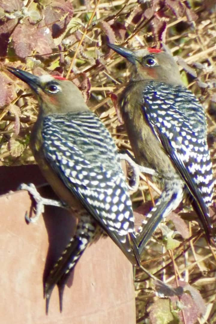 See endemic Gray-breasted Woodpeckers