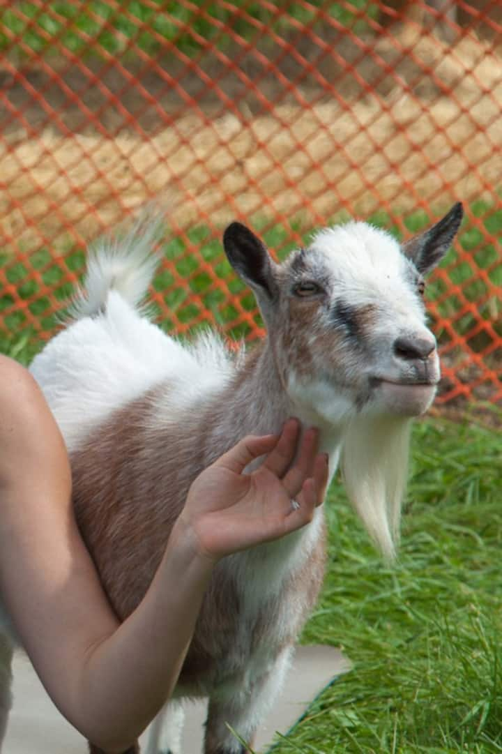 Yoda is one of our special goats.