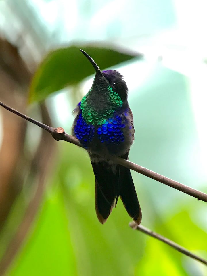 Crowned Woodnymph hummingbird