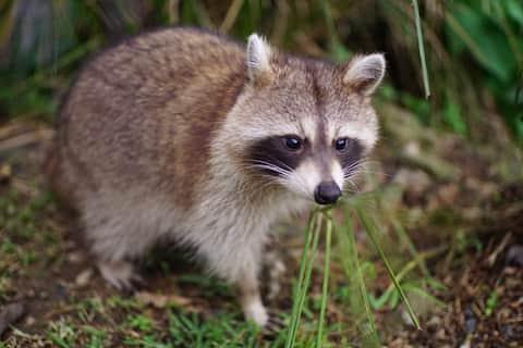 Raccoons Lodge le Gosier