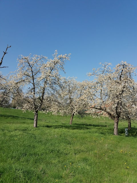 Cherry trees orchard