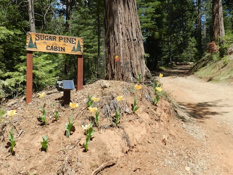 Beautiful Sugar Pine Cabin in Cedar and Pine Woods