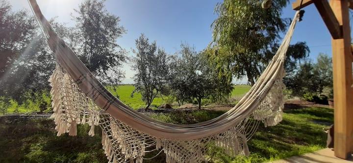 בין עצי הזית