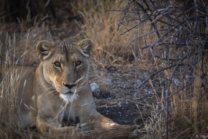 Lion, Cheetah Feeding Game drive breakfast dinner