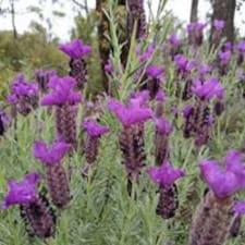 Användarprofil för Lavender